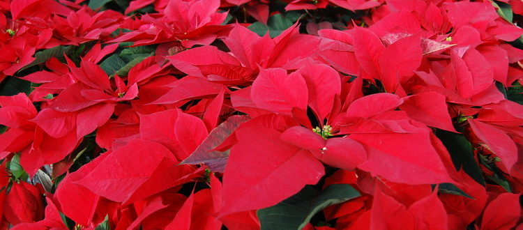 Holidays on the Mall | Poinsettia Plant Giveaway @ Unitus Community Credit Union | Portland | Oregon | United States